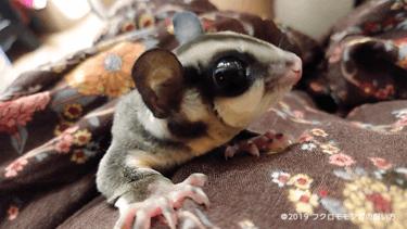 フクロモモンガの鳴き声