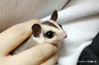 フクロモモンガの繁殖